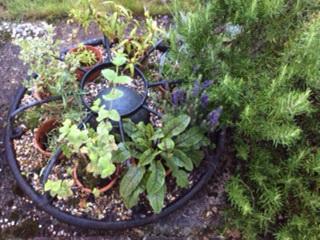 Cottage garden herbs